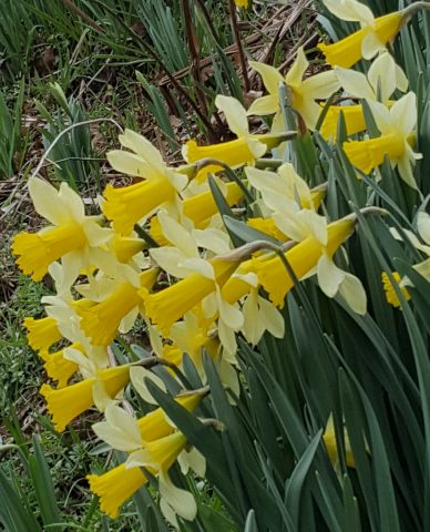 A photo of daffodils in Fittleworth