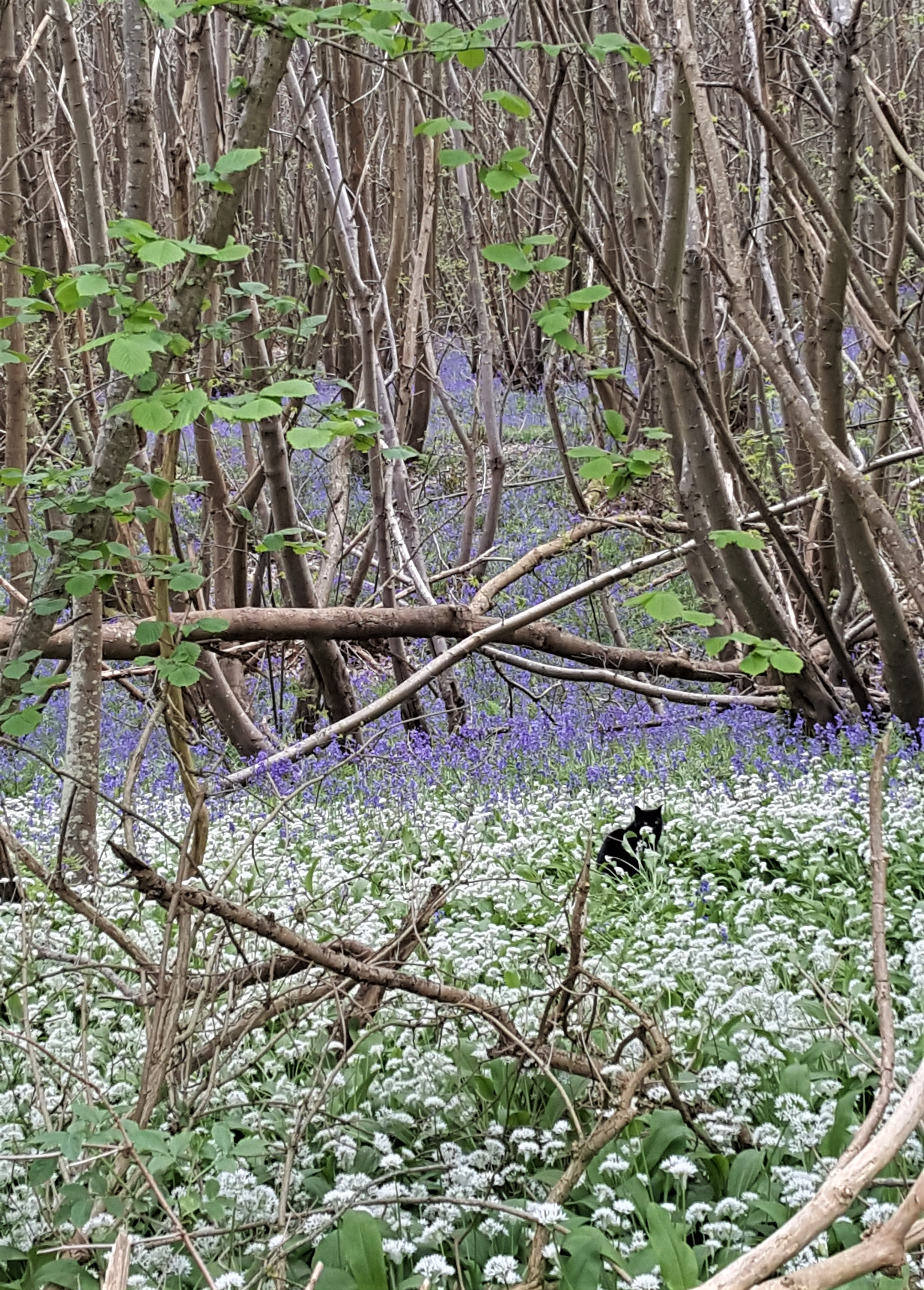 Brinkwells woods with bluebells, wild garlic and who?