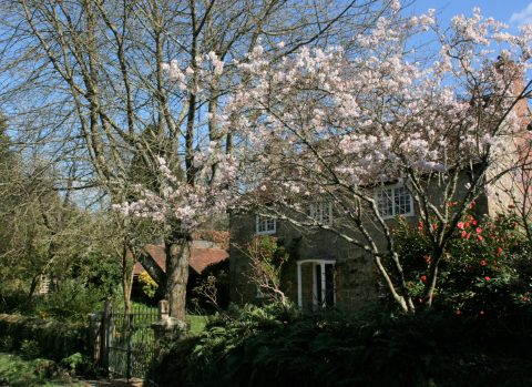 Cherry trees in blossom in front of a cottage